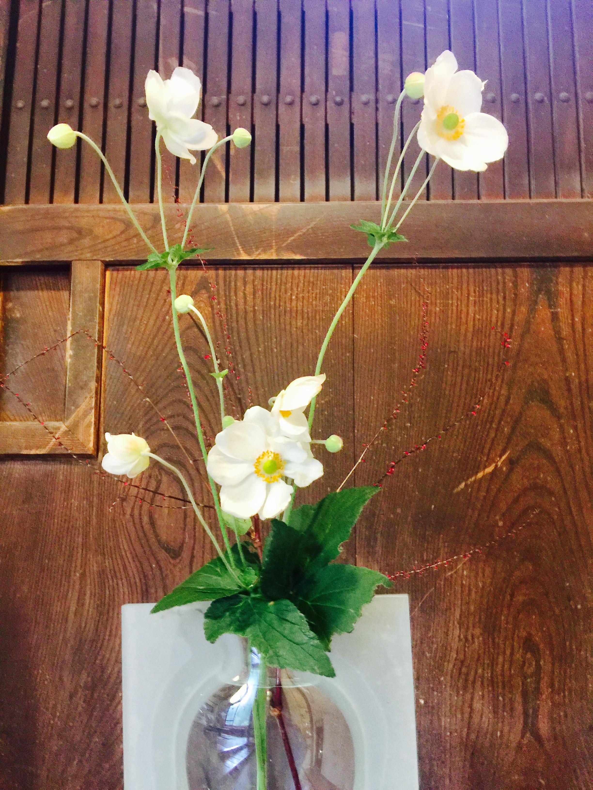 秋明菊の写真